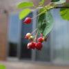 ジューンベリー栽培に再挑戦|ほぼリコーGRⅡで撮影