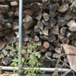 【野菜栽培】ミニトマトが砂利でも元気に育っていた件|生命力凄すぎ!