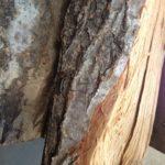 室内保管薪からチャイロホソヒラタカミキリ大量発生