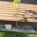 コナラを植え付けました