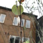 【閲覧注意】カツラでイセリアカイガラムシ・タマカタカイガラムシが繁殖してたので駆除しました
