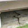 アオダオショウ?!2年ぶりに庭で蛇を見かける