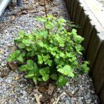 【ゾンビ】スペアミントは除草剤を散布しても枯れない