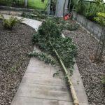 【庭植え】生長して大きくなり過ぎたユーカリグニーを伐採しました|根っこ処理が大変
