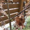 【庭木】真夏に植え付けたカツラ、一度枯れてまた芽吹く