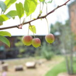 【スズメガ幼虫被害】出張中にクラブアップルの葉がほぼ食われる