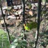 庭でオオミズアオ幼虫を見つける