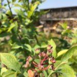 ラビットアイ系ブルーベリー3種(ノビリス・ブルーシャワー・レッドパール)植え付けとラズベリー生育状況