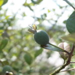 巨大化してきたフェイジョアの収穫|今年の味もgood!