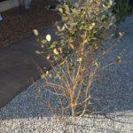 春なのにフェイジョアの葉が落葉し始める