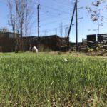 【冬芝WOS】サツキワセが播種から10日で概ね発芽する