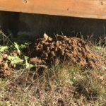 庭のモグラが活発になってきました|鳥獣保護法で駆除・退治できない?!