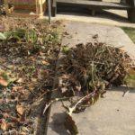 ガーベラ(ガルビネア)の枯れ葉を回収