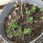 【ミントテロ警戒】スペアミントの根が鉢底を突き破ってないか確認しました