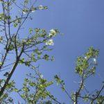 ヒトツバタゴの葉は元気だが花が少ししか咲いていない件