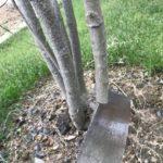 一部枯れたヤマボウシを根元から剪定しました