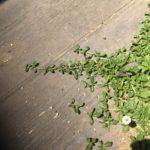 ヒメイワダレソウ、灼熱のコンクリ上でも成長を続ける