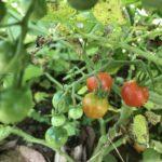 【F1種】庭でタネから勝手に育つトマトから初収穫