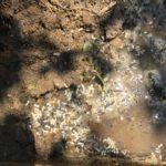 ヒトツバタゴの下でヤマトシロアリを見つける