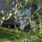 ハナモモ照手・セイヨウニンジンボク・山椒を庭に植える