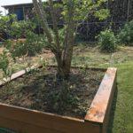 半匍匐性ローズマリーとトマトをヒトツバタゴ下に移植した件