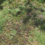 【夏嫌い】出張の間に芝のライフが悪化する