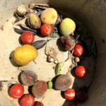 庭で採れた実や種を畑に植えてみた件