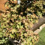 2018台風被害状況|塩害で庭木の葉が枯れる
