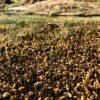 カネコ種苗・Jオーバーシードが1週間で発芽する