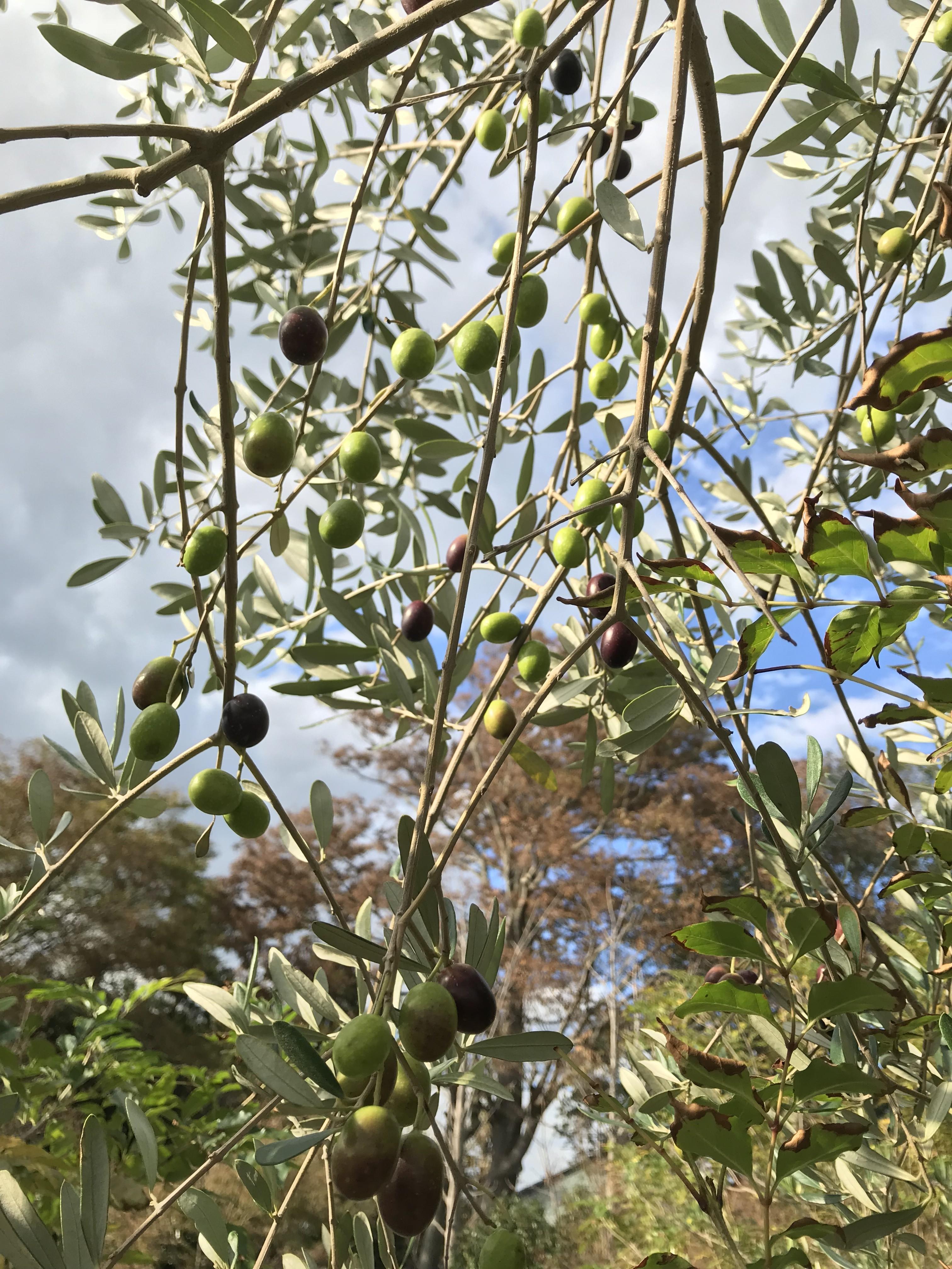オリーブ の 実 の 収穫 時期