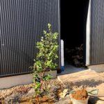 フェイジョアを玄関前に植え付ける