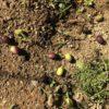 オリーブの実を庭にばら撒く