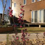 真冬だってのにギョリュウバイ八重咲がキレイな花を咲かす