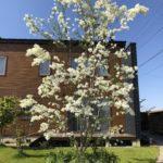 【シンボルツリー】ヒトツバタゴ(なんじゃもんじゃ)が超綺麗に咲き誇る