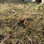 ヤマモミジの種が芽吹きまくってた件
