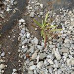 ローズマリーの挿し木は失敗がない