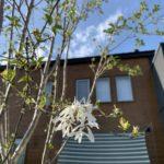 ヒトツバタゴ(なんじゃもんじゃ)、今年はほぼ咲かなかった件