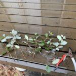 【真冬雨の日ガーデニング】春に向けて挿し木をはじめる